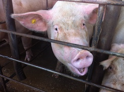Pigs at Pipestone Systems facility in Minnesota.
