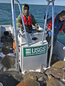 U.S. Geological Survey scientists and volunteers rescue sea turtles from unusually cold waters in St. Joseph Bay, Fla., earlier this month. Under a possible reorganization, the science-focused agency could be lumped in with Interior Department agencies that focus, for instance, on the promotion of offshore drilling.