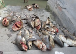 White Cheek Shark Slaughtered for the Illegal Shark Fin Trade.  Photo: INTERPOL