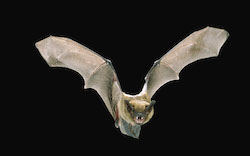 A big brown bat (Eptesicus fuscus), in night flight at Rogue River National Forest in Oregon.