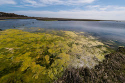 Algal bloom at Assateague Island National Seashore in Maryland in 2013.